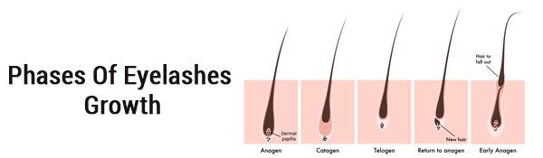 Phases Of Eyelashes Growth